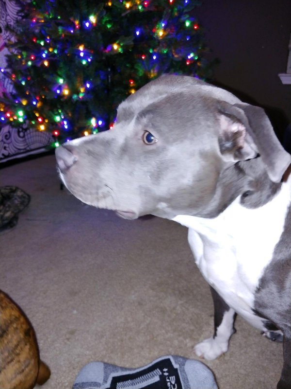 Lost Pit Bull in Harker Heights, TX US