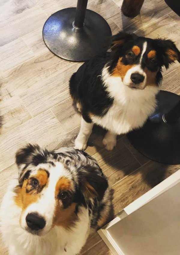 Stolen Australian Shepherd in Saginaw, MI US