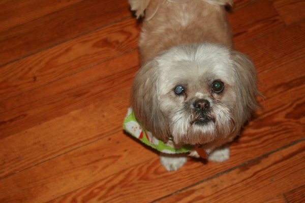 Lost Shih Tzu in Eastman, GA US