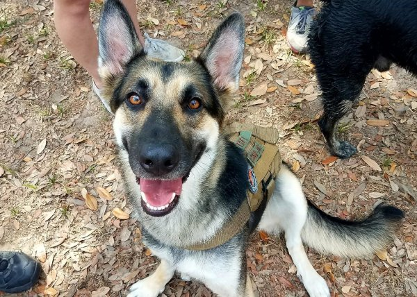 Lost German Shepherd Dog in Friendswood, TX US