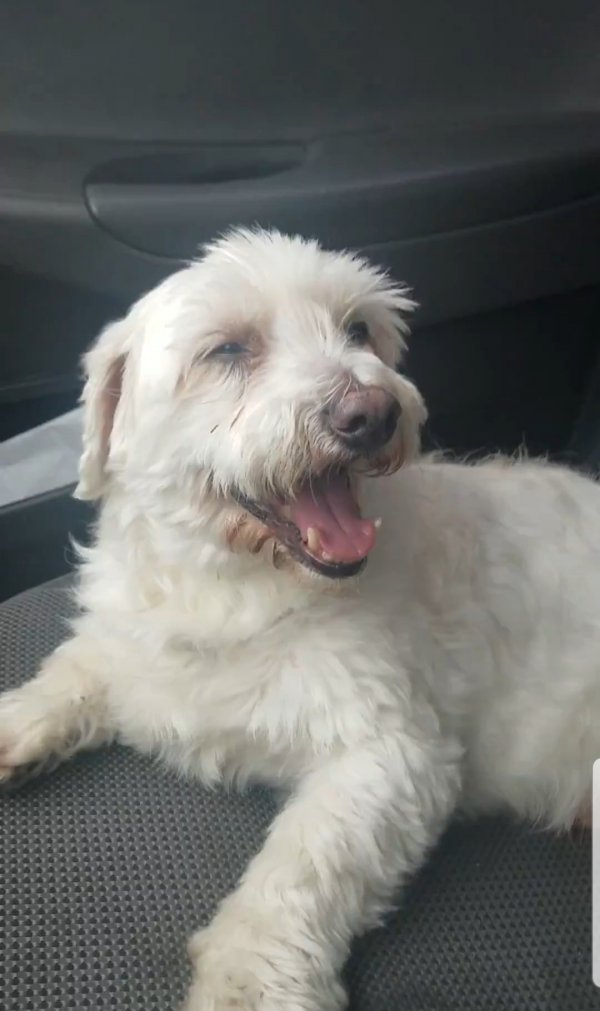Lost Poodle in Miami, FL US