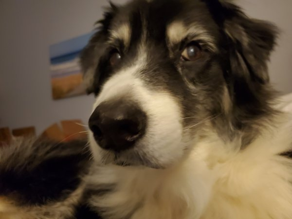 Safe Australian Shepherd in Tustin, CA US