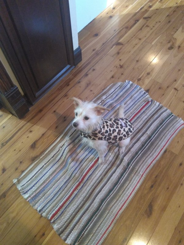Lost West Highland White Terrier in Highland, IL US