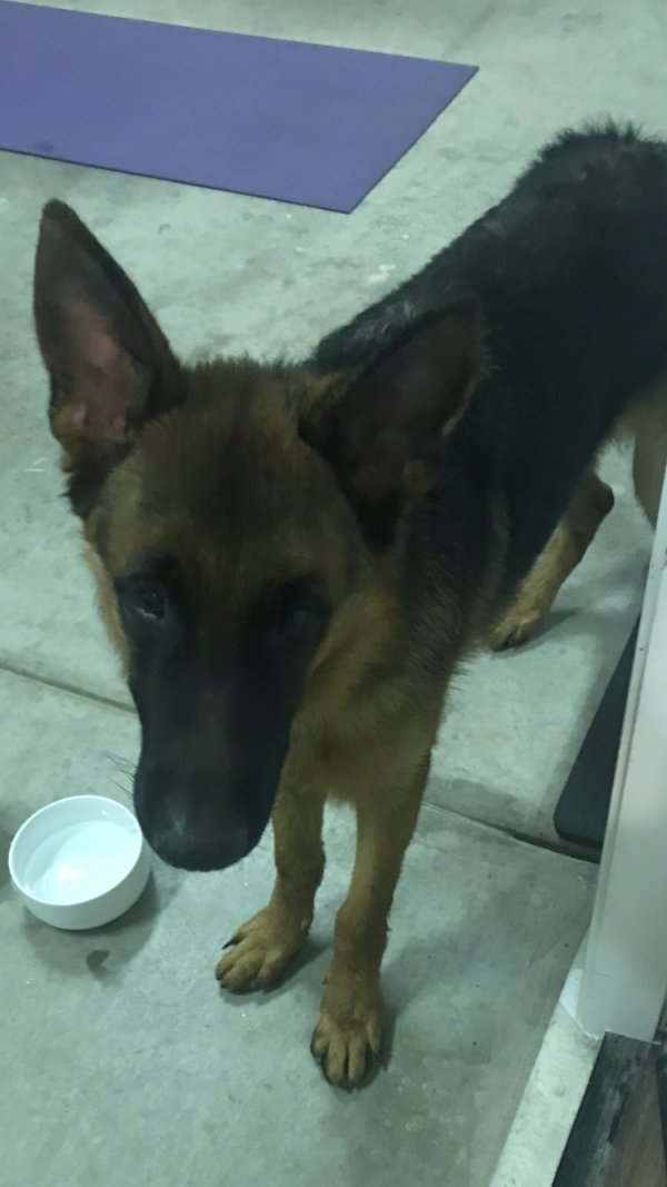 Found German Shepherd Dog in Chandler, AZ US