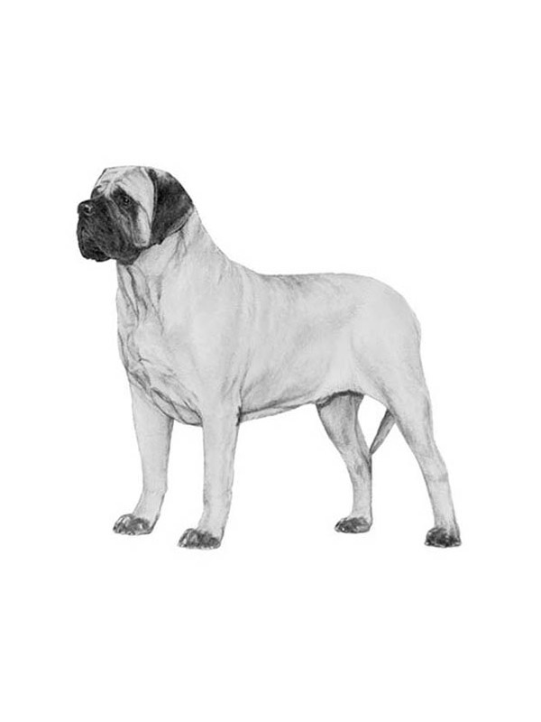 Lost Mastiff in Logan, OH US