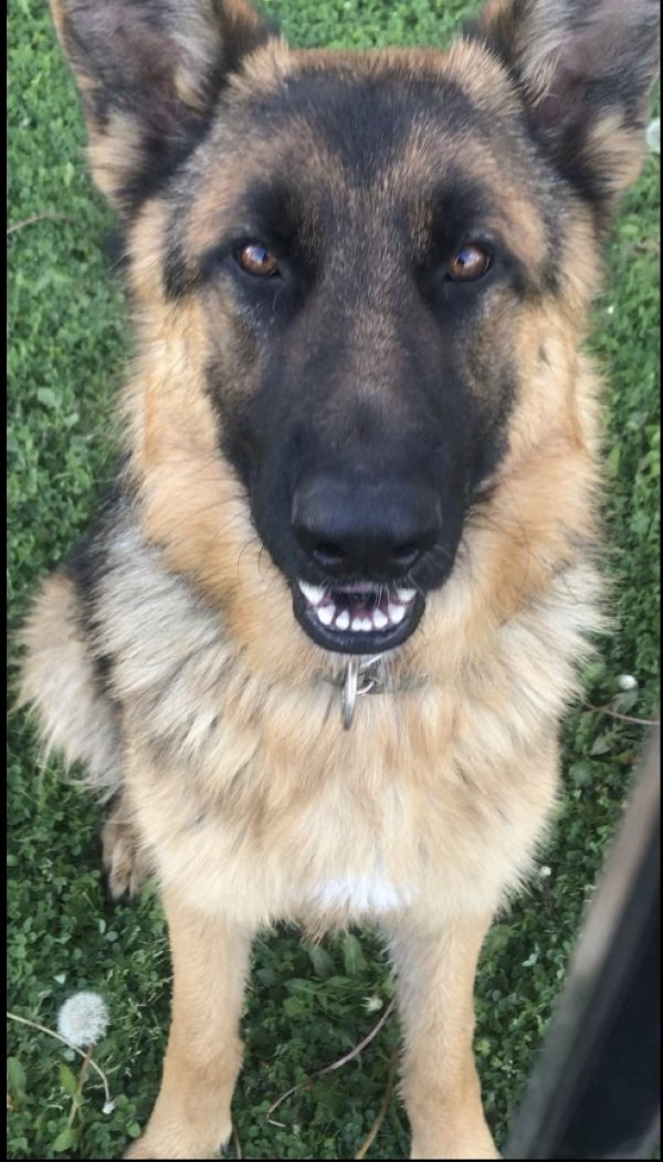 Found German Shepherd Dog in Midlothian, TX US