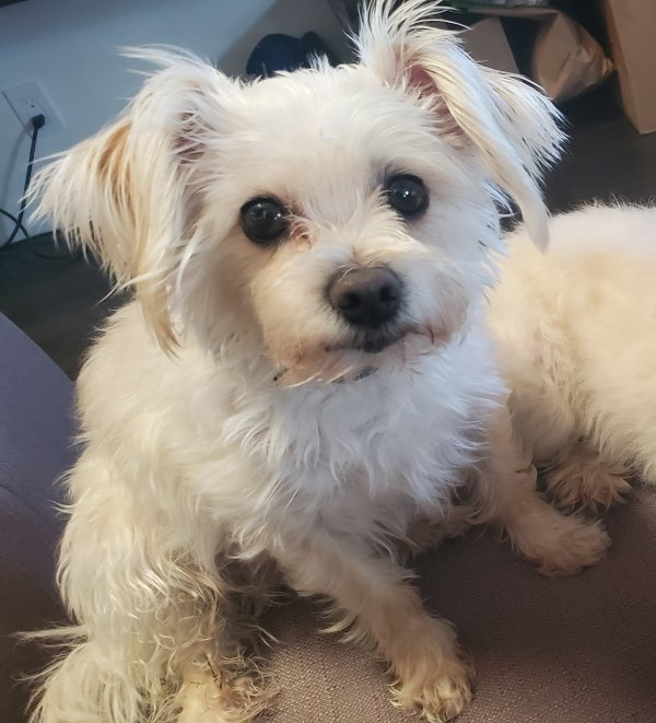 Lost Maltese in Northridge, CA US