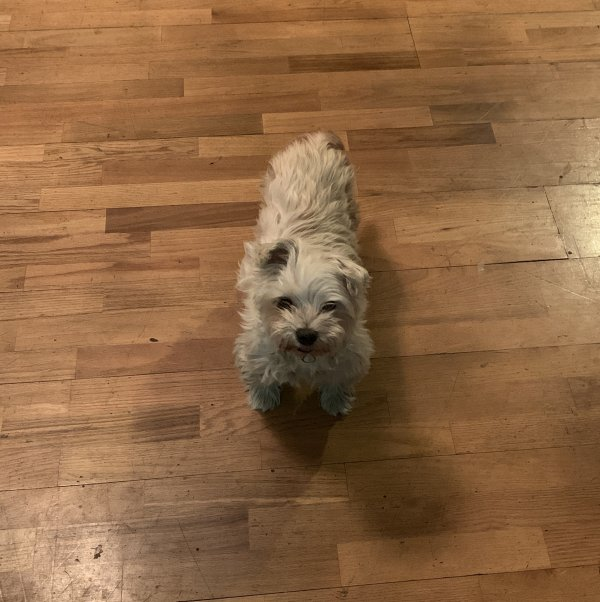 Lost Maltese in Cerritos, CA US