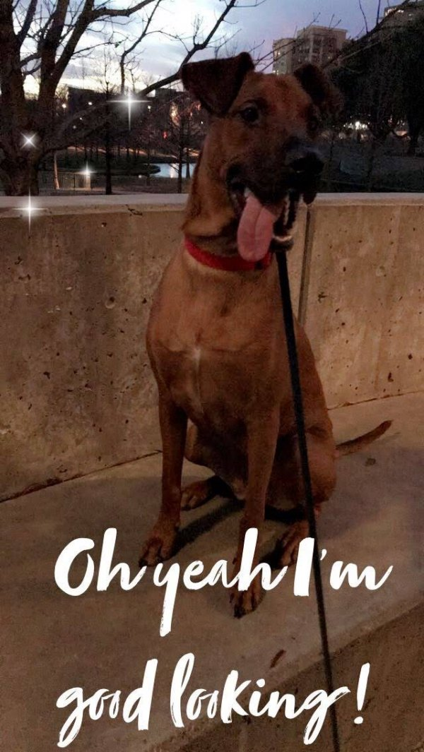 Safe Rhodesian Ridgeback in Garland, TX US