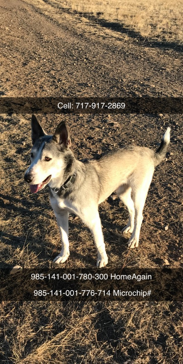 Safe Siberian Husky in Broomfield, CO US