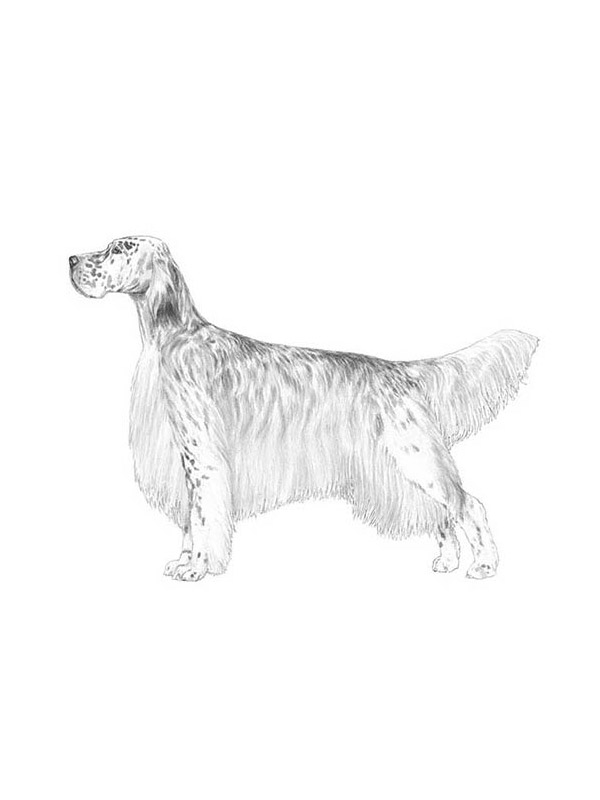 Lost English Setter in Livingston, NJ US