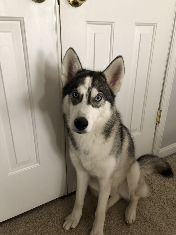 Found Siberian Husky in Germantown, MD US