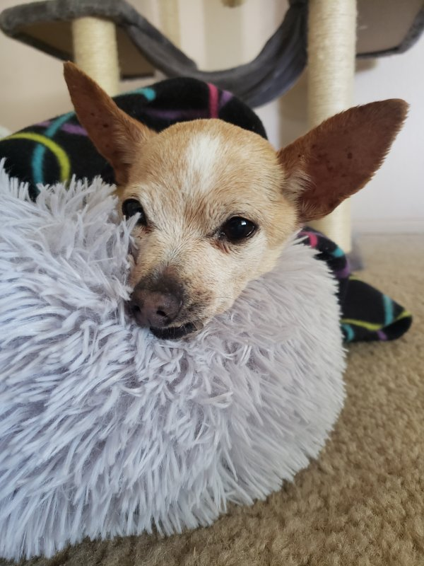 Found Chihuahua in Glendale, AZ US