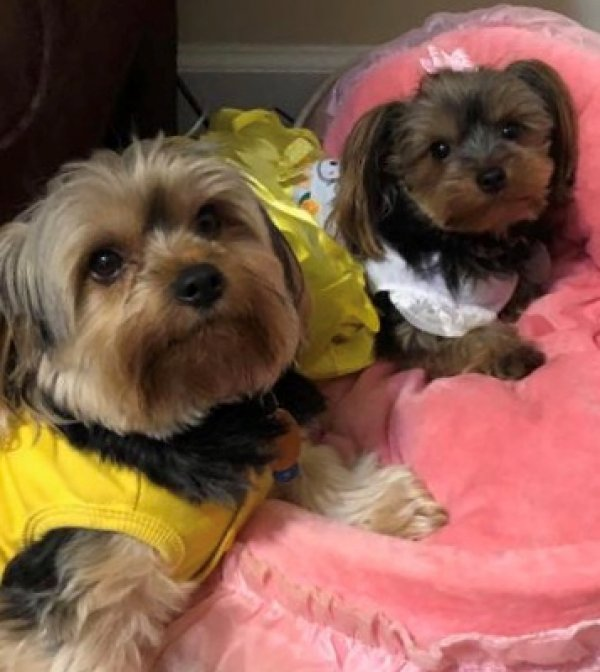 Safe Yorkshire Terrier in Raleigh, NC US