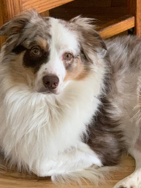 Safe Australian Shepherd in Jersey City, NJ US