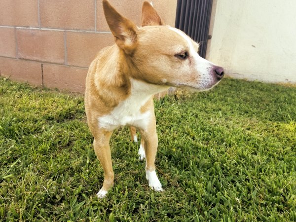 Found Chihuahua in Fountain Valley, CA US