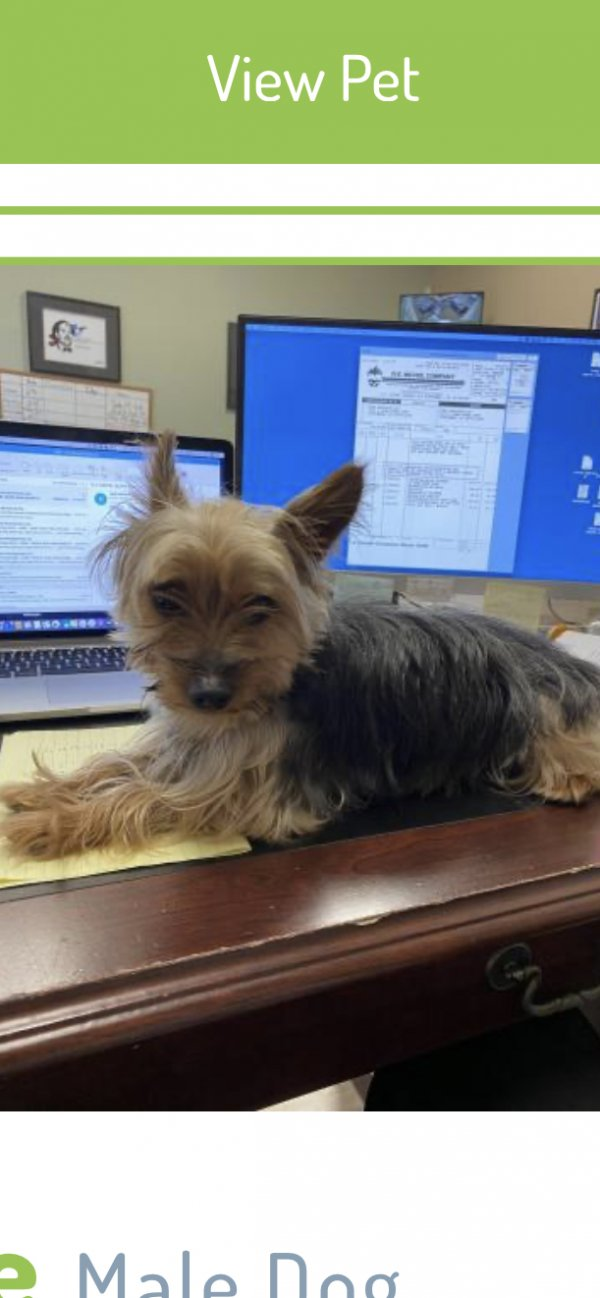 Lost Yorkshire Terrier in Kissimmee, FL US