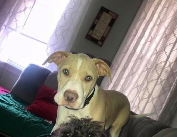 Lost Pit Bull in York, PA US