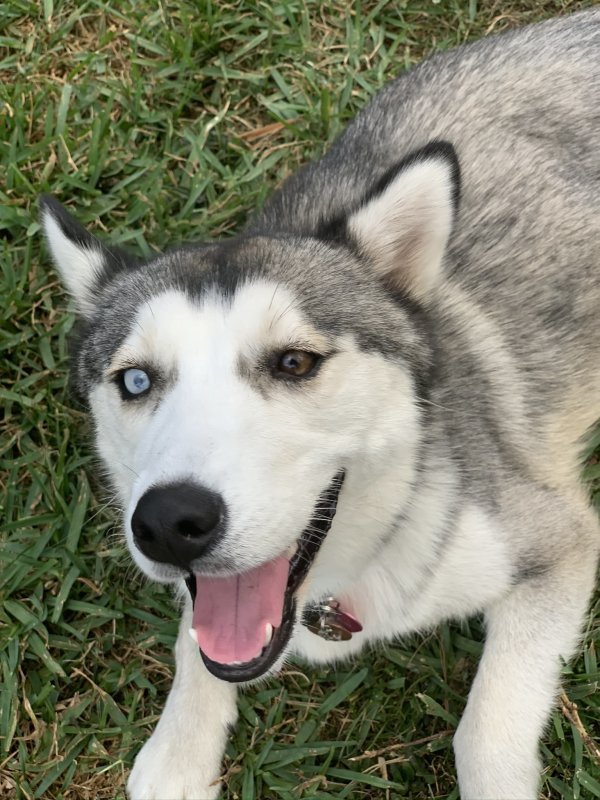 Lost Siberian Husky in Port Saint Lucie, FL US