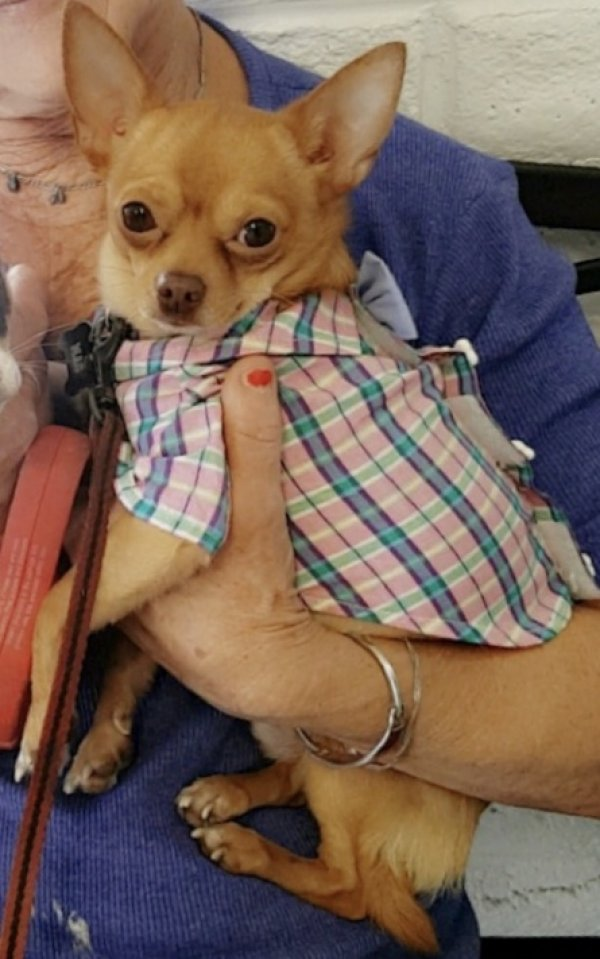 Lost Chihuahua in Oakley, CA US