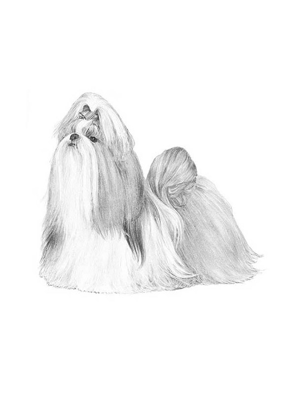 Lost Shih Tzu in Kissimmee, FL US