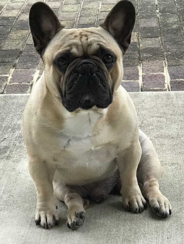 Stolen French Bulldog in Middlebrook, VA US