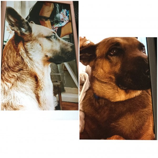 Lost German Shepherd Dog in Opa Locka, FL US