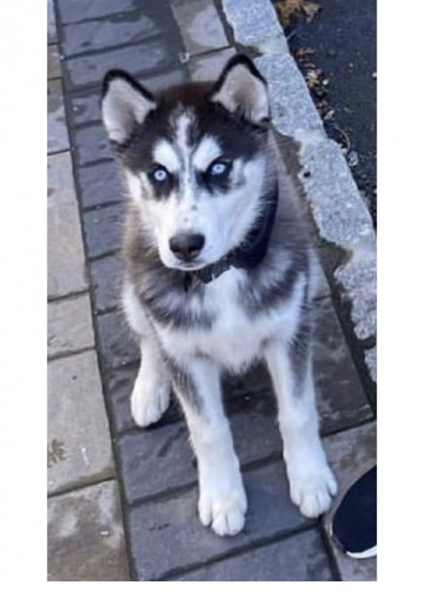 Lost Siberian Husky in East Orange, NJ US