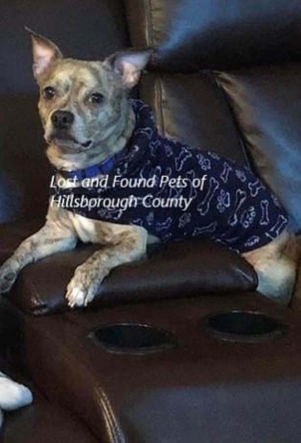 Lost Chihuahua in Ruskin, FL US