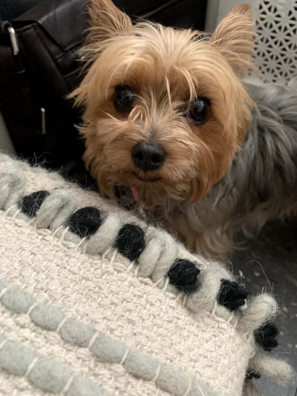 Found Yorkshire Terrier in South Orange, NJ US