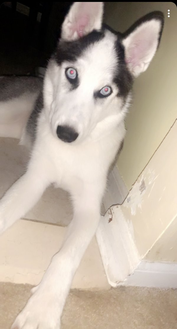 Lost Siberian Husky in Sterling, VA US