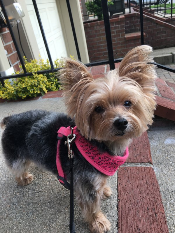 Lost Yorkshire Terrier in Cranston, RI US