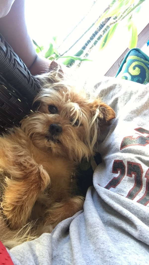 Lost Yorkshire Terrier in Westbury, NY US