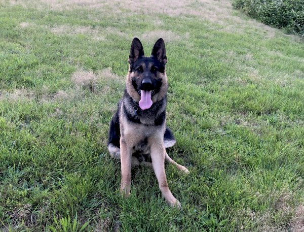 Lost German Shepherd Dog in Seattle, WA US