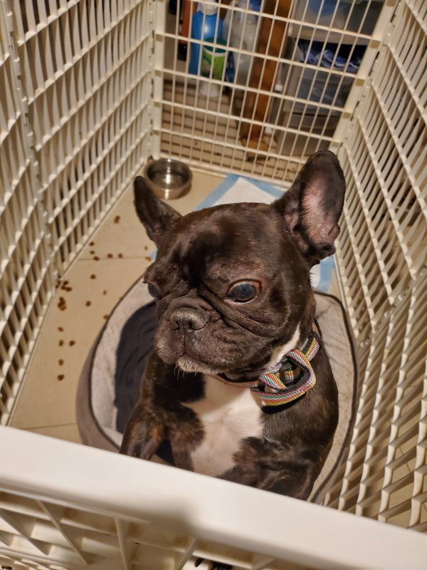 Lost French Bulldog in Glendora, NJ US