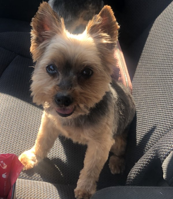 Lost Yorkshire Terrier in Bolingbrook, IL US
