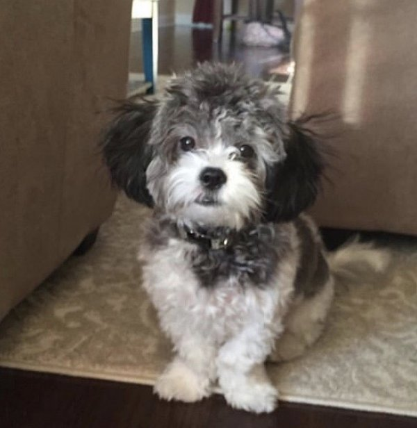 Safe Shih Tzu in Parkville, MD US