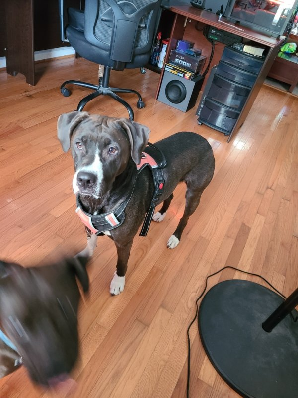 Safe American Staffordshire Terrier in Chester, VA US