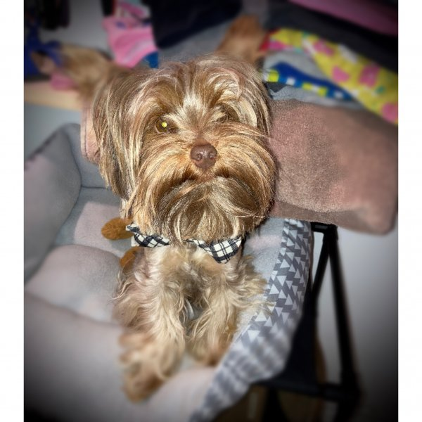 Lost Yorkshire Terrier in Chicago, IL US
