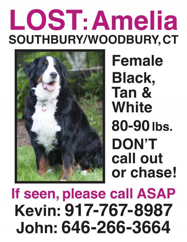 Lost Bernese Mountain Dog in Southbury, CT US