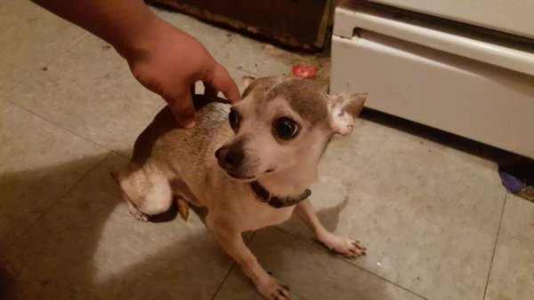 Lost Chihuahua in Chicago, IL US