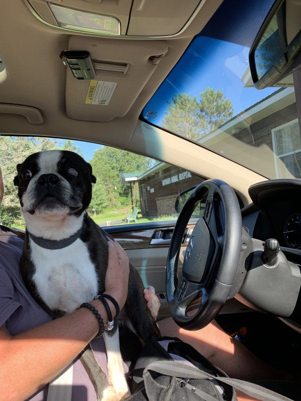 Found Boston Terrier in Radisson, WI US
