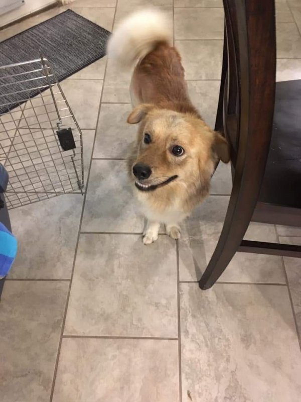 Found Labrador Retriever in San Antonio, TX US