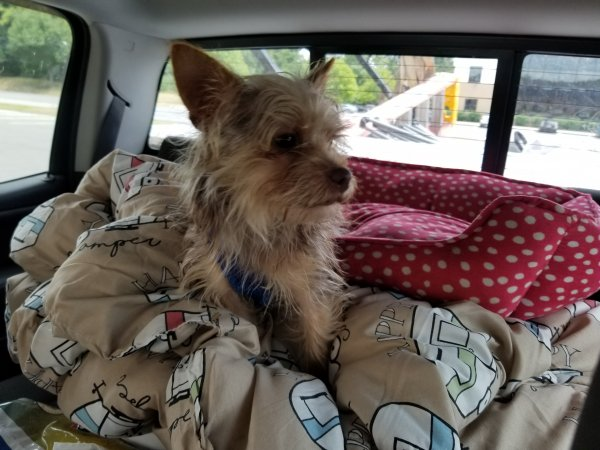 Lost Yorkshire Terrier in Hancock, MD US