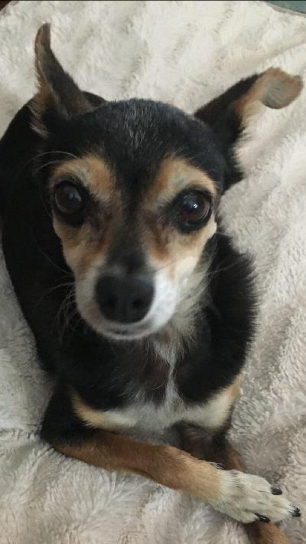 Found Chihuahua in Whittier, CA US