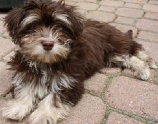 Safe Havanese in Springfield, OH US
