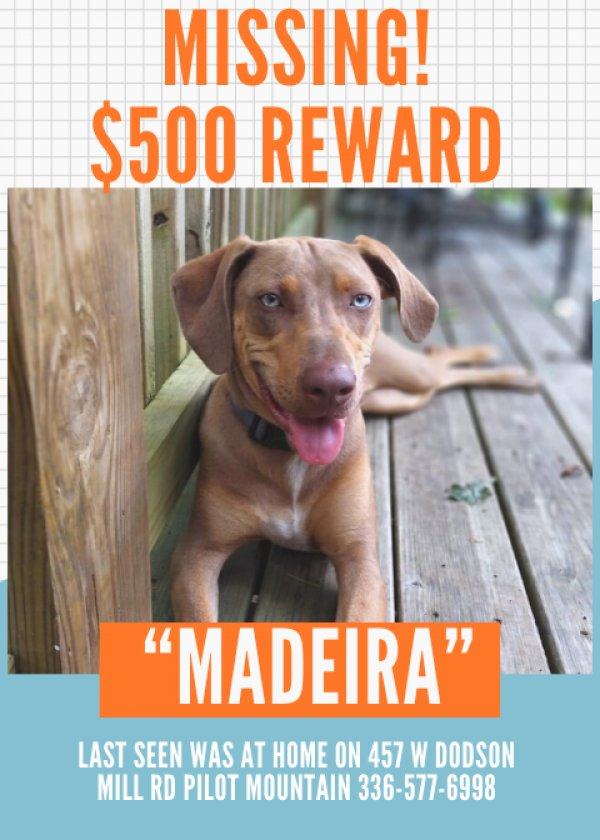 Lost Catahoula Leopard in Pilot Mountain, NC US
