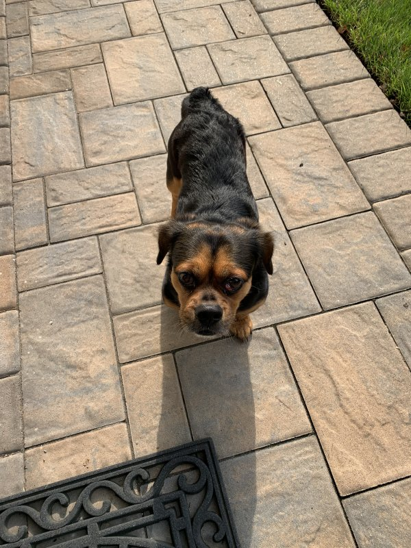 Found Rottweiler in East Islip, NY US