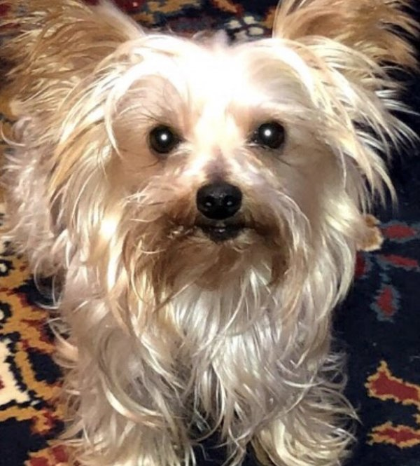 Lost Yorkshire Terrier in Wilkes Barre, PA US