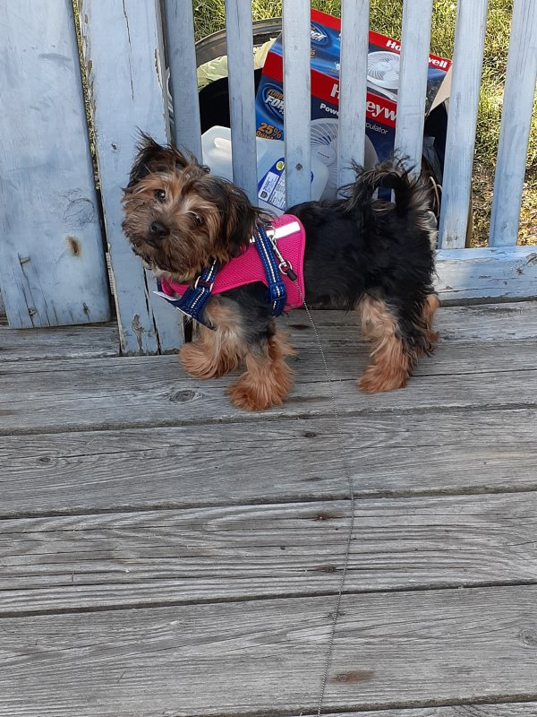 Stolen Yorkshire Terrier in Millville, NJ US